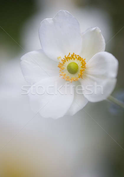Ornamental white flowers  Stock photo © AlessandroZocc