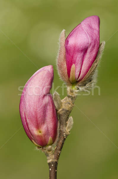 Pink and red Magnolia flower buds Stock photo © AlessandroZocc