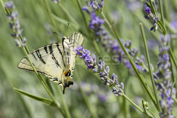 Borboleta velejar planta branco lavanda inseto Foto stock © AlessandroZocc