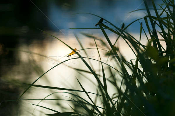 Damselfly resting on a blade of grass at sunset Stock photo © AlessandroZocc