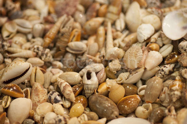 Sea shells for collectors Stock photo © AlessandroZocc