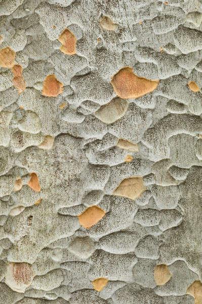 Zelkova tree bark Stock photo © AlessandroZocc