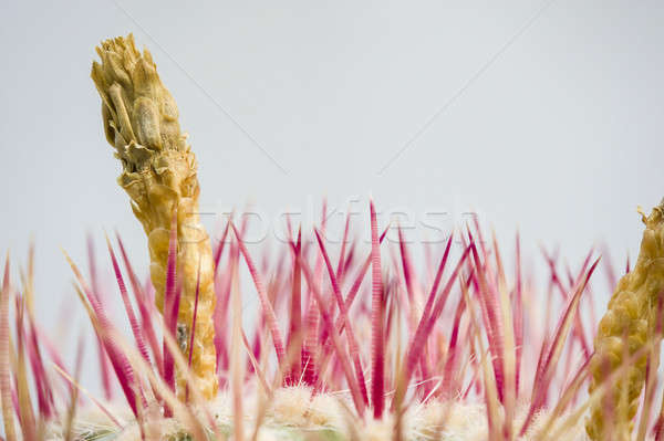 Flower spike of a cactus  Stock photo © AlessandroZocc