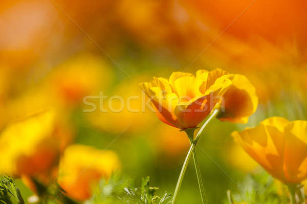 Stock photo: Eschscholzia californica, yellow and orange poppy wild flowers.