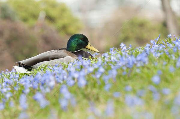 Mallard, wild duck (Anas platyrhynchos) , dabbling duck  Stock photo © AlessandroZocc