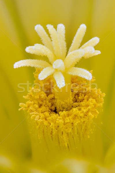 Egel cactus miniatuur vat familie Stockfoto © AlessandroZocc