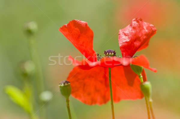 Red poppy detail  Stock photo © AlessandroZocc