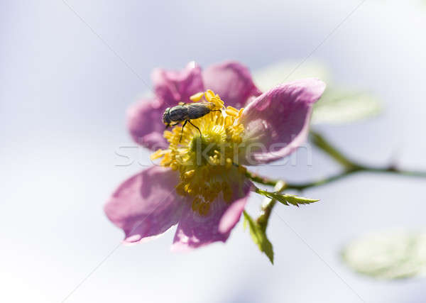 Fly on pink and yellow rose  Stock photo © AlessandroZocc