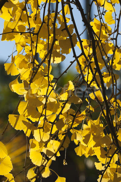 Ginkgo biloba leaves in autumn Stock photo © AlessandroZocc