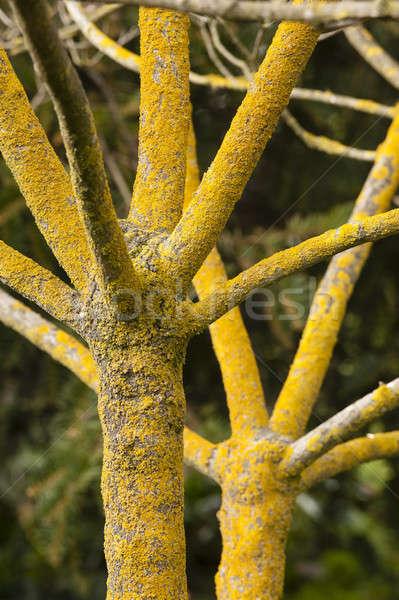ツリー 冬 葉 黄色 樹皮 ストックフォト © AlessandroZocc