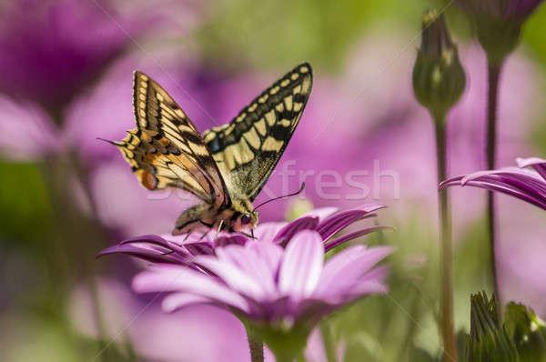 Kelebek mor papatya alan nektar çiçekler Stok fotoğraf © AlessandroZocc