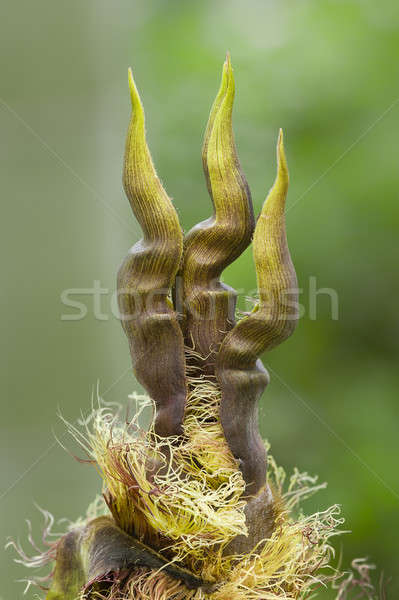 Detail of bamboo bud Stock photo © AlessandroZocc