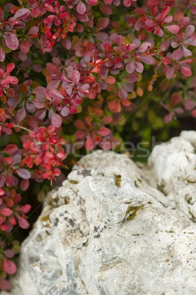 Red leaf bush detail  Stock photo © AlessandroZocc