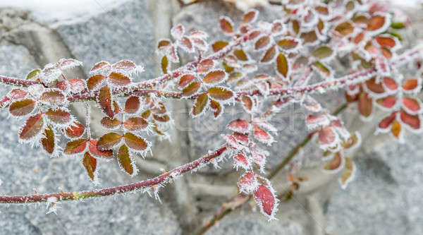 Frosted plants Stock photo © Alex9500