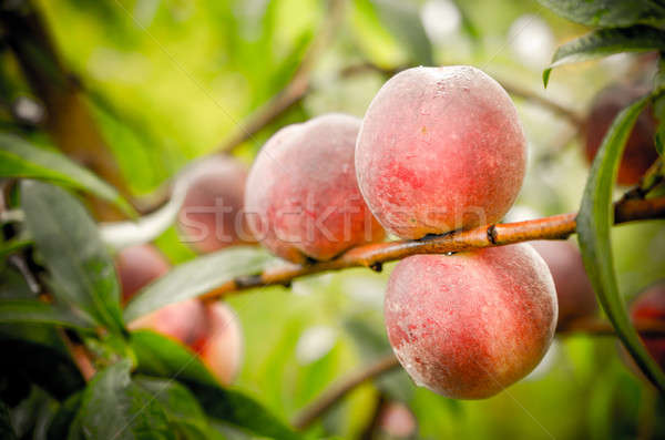 Ripe peaches fruits on a branch Stock photo © Alex9500