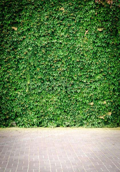 Yeşil sarmaşık duvar yaprak arka plan yaprakları Stok fotoğraf © Alex9500