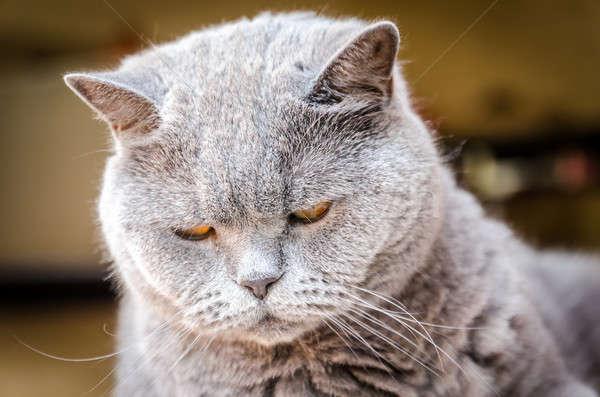 Portrait of british cat Stock photo © Alex9500