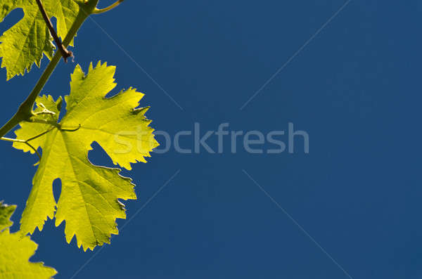 Raisins laisse soleil été vert bleu Photo stock © Alex9500