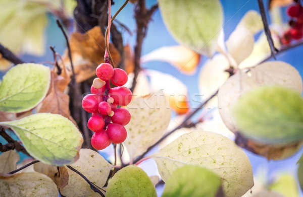 Branch of chinese magnolia vine berries Stock photo © Alex9500