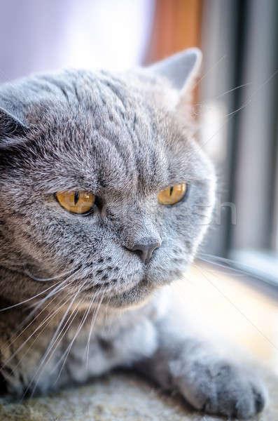 Portrait of laying british cat Stock photo © Alex9500