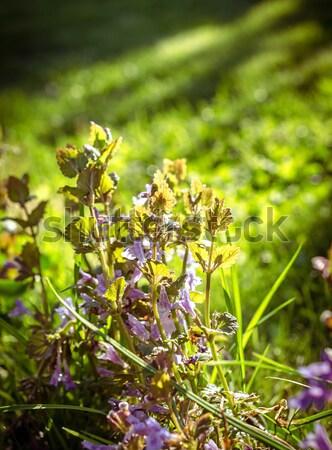 Vadvirágok tavasz fű erdő természet nyár Stock fotó © Alex9500