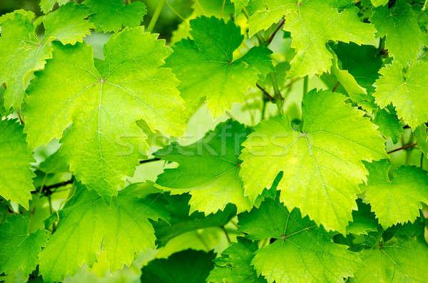 Druif bladeren zomer groene Blauw wolk Stockfoto © Alex9500