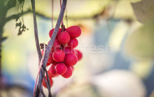 Branch of chinese magnolia vine berries Stock photo © Alex9500