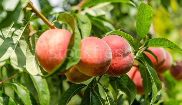 Maduro duraznos frutas rama árbol alimentos Foto stock © Alex9500