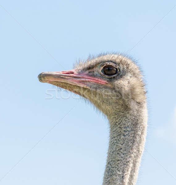 Autruche Homme tête oeil visage oiseau Photo stock © Alex9500