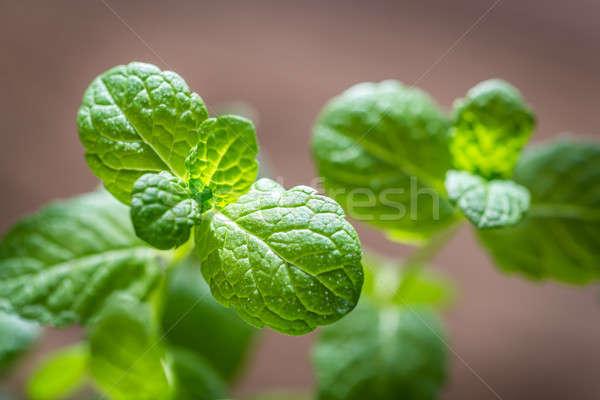 мята свежие зеленый сельского хозяйства здорового Сток-фото © Alex9500