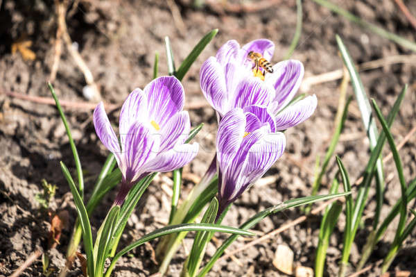 Crocus flowers on the flowerbed Stock photo © Alex9500