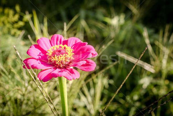 Flor-de-rosa grama flor natureza jardim verão Foto stock © Alex9500