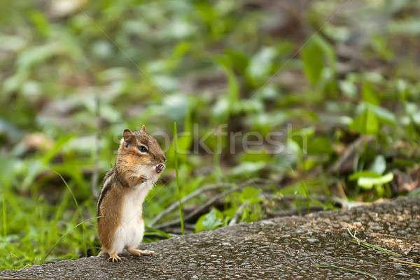 çizgili sincap geri gıda orman hayvanlar komik Stok fotoğraf © alex_davydoff
