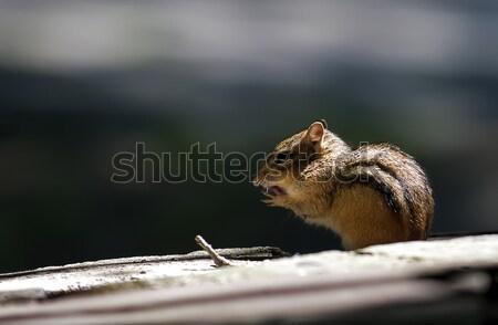 çizgili sincap ağaç ahşap gıda orman hayvanlar Stok fotoğraf © alex_davydoff