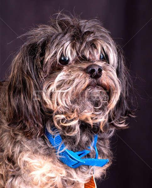 портрет собака волос студию домашние мех Сток-фото © alex_davydoff