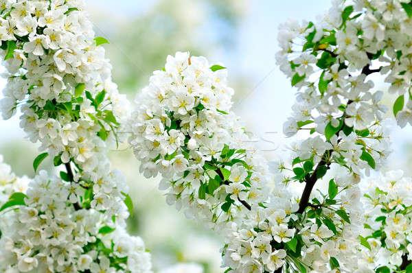 белый филиала зеленые листья дерево цветы Сток-фото © alex_davydoff