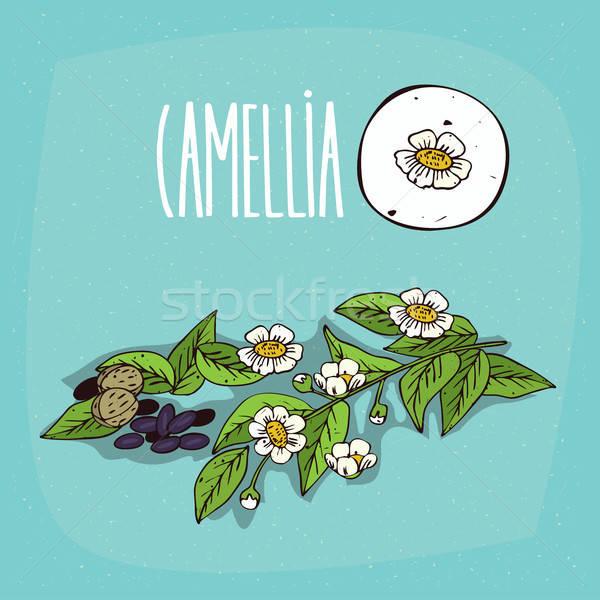 Set of isolated plant Camellia flowers herb Stock photo © alexanderandariadna