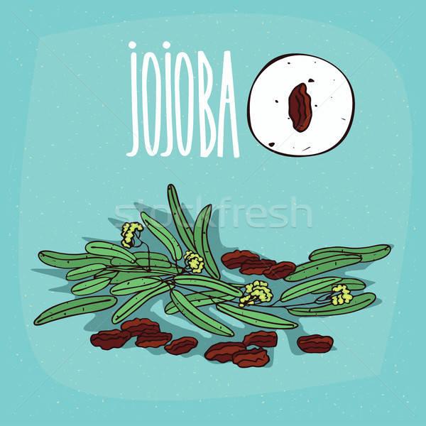 Set of isolated plant Jojoba seeds herb Stock photo © alexanderandariadna