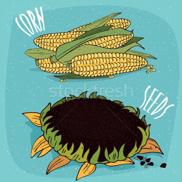 Szett izolált kukorica fülek napraforgó érett Stock fotó © alexanderandariadna