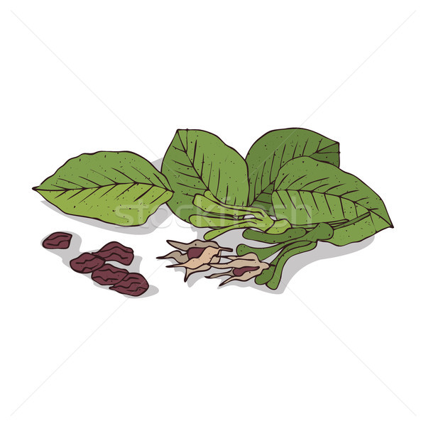 Isolated clipart Shorea robusta Stock photo © alexanderandariadna