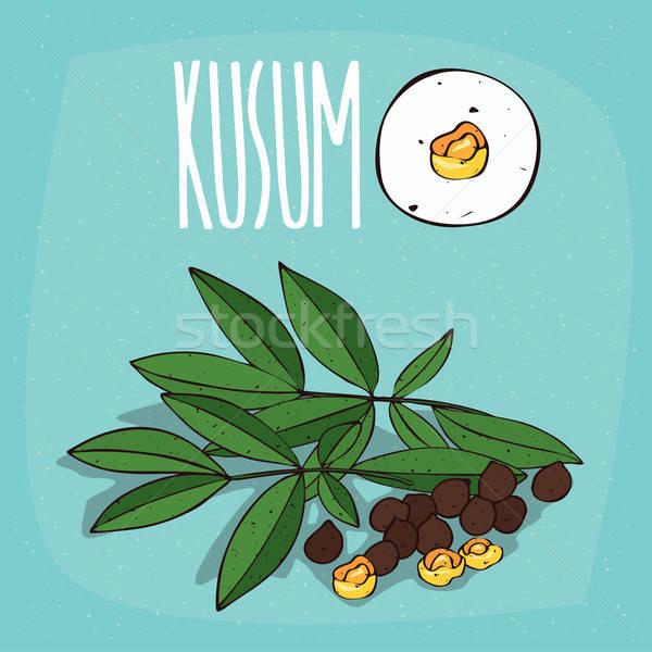 Set of isolated plant Kusum seeds herb Stock photo © alexanderandariadna