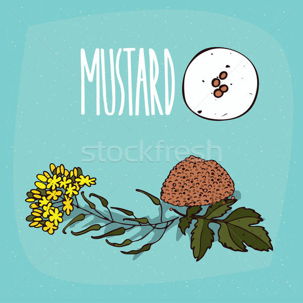 Set of isolated plant Mustard seeds herb Stock photo © alexanderandariadna