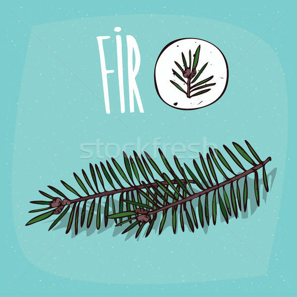 Stock photo: Set of isolated plant Fir leaves herb