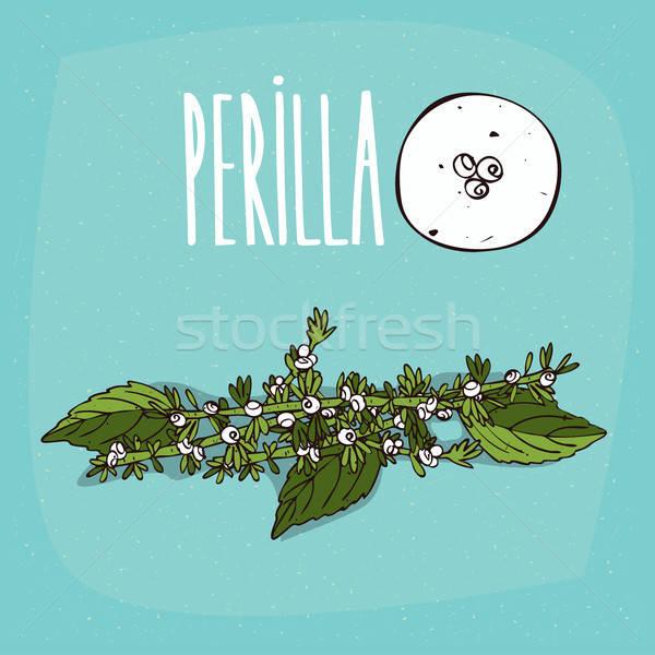 Set of isolated plant Perilla flowers herb Stock photo © alexanderandariadna
