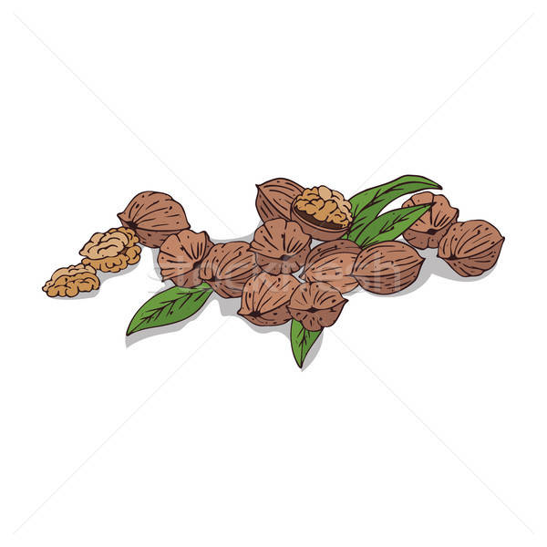 Isolated clipart Walnut Stock photo © alexanderandariadna