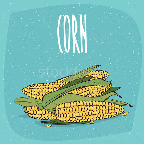 Isolated ripe whole corn ears or cobs with leaves Stock photo © alexanderandariadna