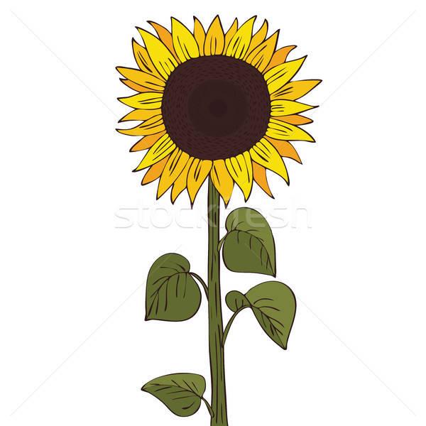 Isolate helianthus or sunflower Stock photo © alexanderandariadna