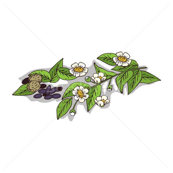 Izolált clipart növény fehér botanikus rajz Stock fotó © alexanderandariadna