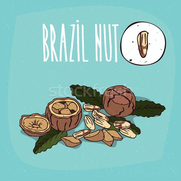 Ingesteld geïsoleerd plant Brazilië moer noten Stockfoto © alexanderandariadna