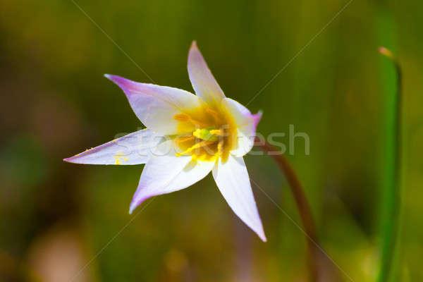 Bahar çiçekleri ilk çiçek bahar güzellik yeşil Stok fotoğraf © alexandkz